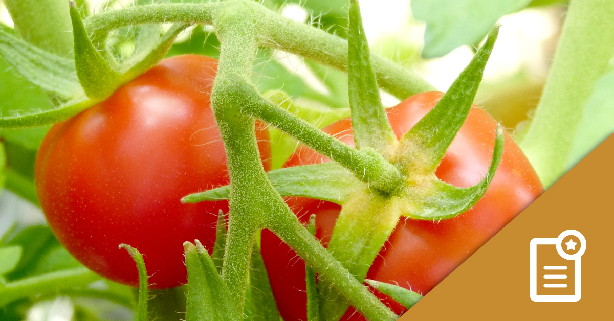 AUS-featured-study-tomatoes