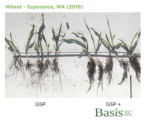 Wheat Growth with Basis XC