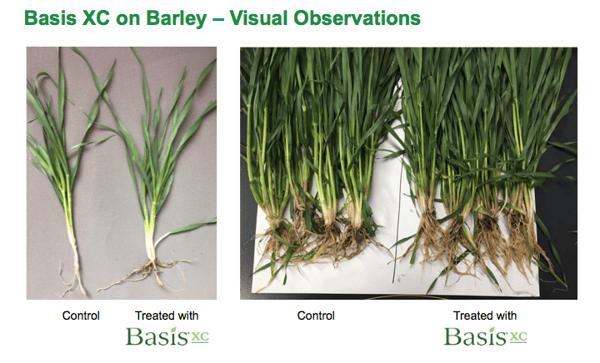 Basis_XC_barley_2