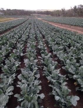Broccoli-1.jpg