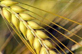 barley-close-up-crop