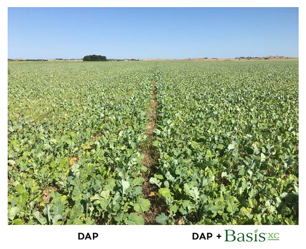 brassica_basis-xc_cropgrowth
