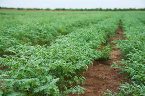 chickpea field