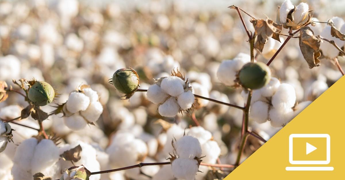 Foundation LM Cotton Webinar
