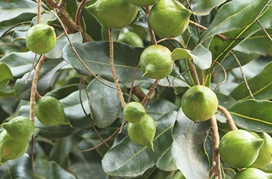 featured_studies_macadamia-1.jpg