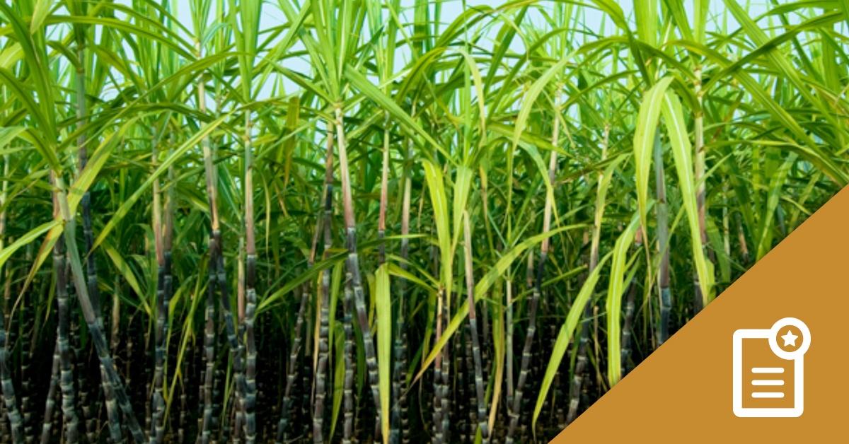 Foundation LM Plant Cane Study