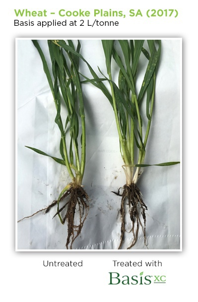 wheat basis xc cooke plains sa.jpg