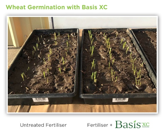 wheat-germination-basis-xc