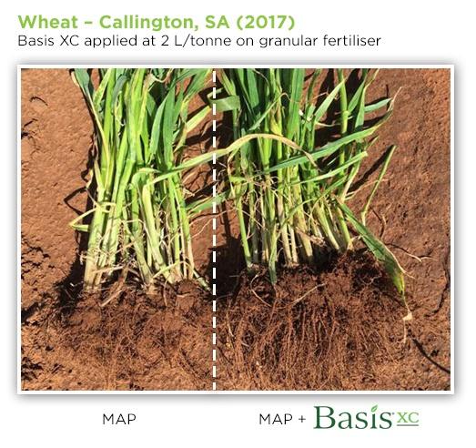 wheat_callington_basisxc.jpg