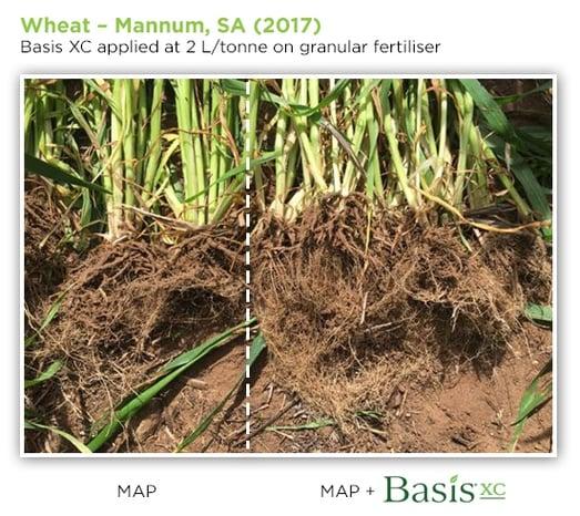 wheat_mannum_basisxc.jpg